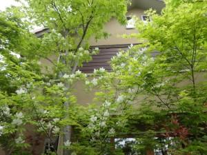 アオダモの白い花