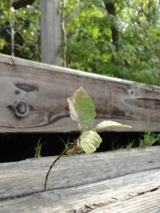 段々のどんぐりの幼木